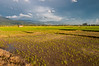 Looking out over rice paddies in the late afternoon with an approaching storm, Wuasa, Sulawesi, Indonesia. February 2013. [Sulawesi Wuasa 2013-02 001 Indonesia]