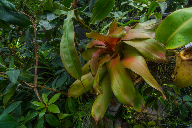 Spectacular bromeliads in the Cloud Forest Dome at Gardens By The Bay in Singapore, November 2014. [Gardens By The Bay 2014-11 074 Singapore]