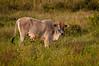 Cow in pasture at Wuasa, Sulawesi, Indonesia, February 2013. [Sulawesi Wuasa 2013-02 045 Indonesia_V]