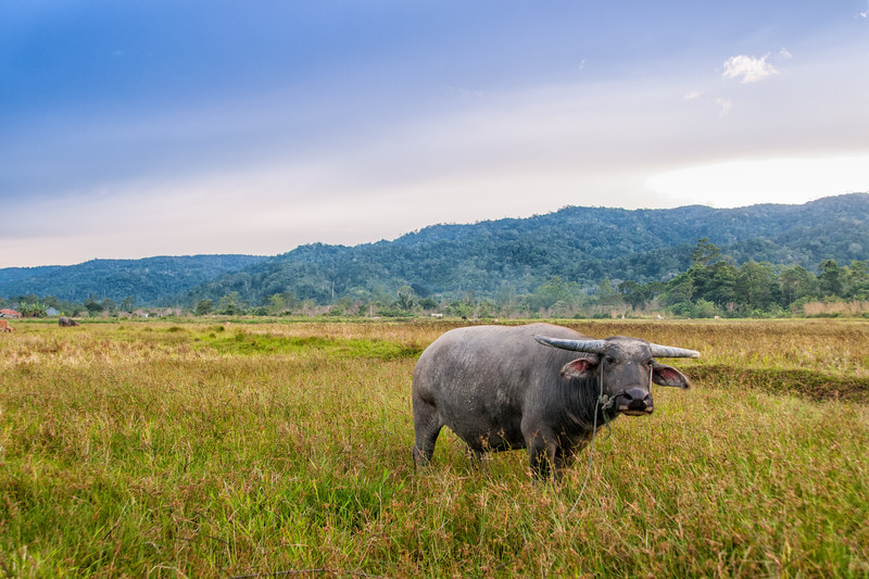 A water buffalo grazes in a farmer's field at Wuasa, Sulawesi, Indonesia. February 2013. [Sulawesi Wuasa 2013-02 035 Indonesia_TC]