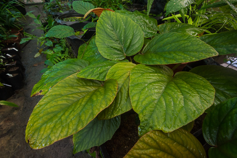 Native herbs in the nursery, awaiting planting out into the Singapore Botanic Gardens, November 2014. [Singapore Botanic Gardens 2014-11 001 Singapore]