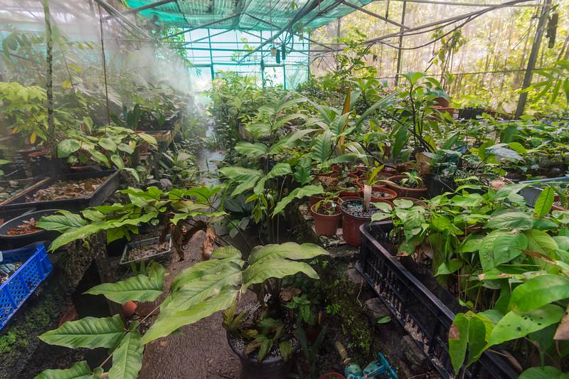 Native tree seedlings growing in the nursery at the Singapore Botanic Gardens, November 2014. [Singapore Botanic Gardens 2014-11 002 Singapore]