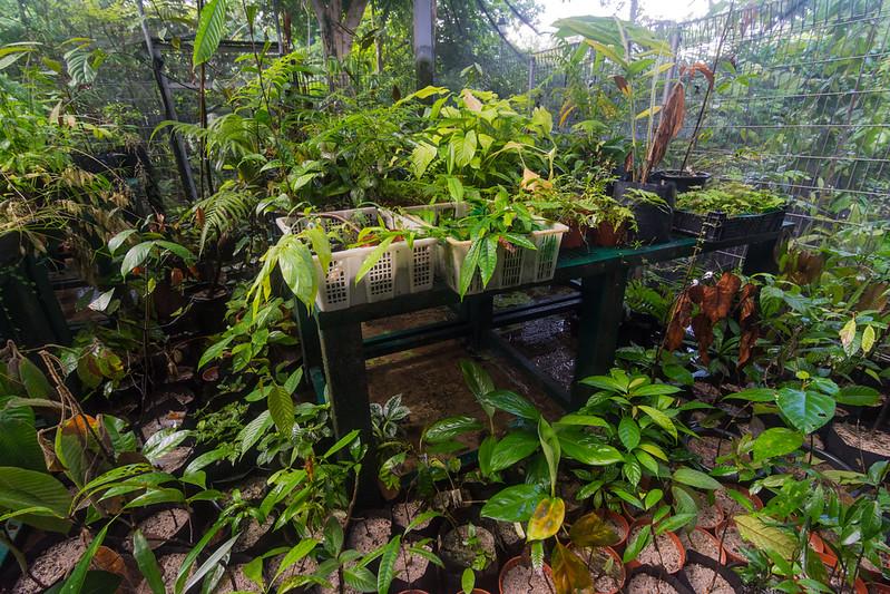 Native tree seedlings growing in the nursery at the Singapore Botanic Gardens, November 2014. [Singapore Botanic Gardens 2014-11 006 Singapore]