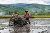 A rice farmer ploughs his paddy, Wuasa, Sulawesi, Indonesia, February 2013. [Sulawesi Wuasa 2013-02 134 Indonesia_V]