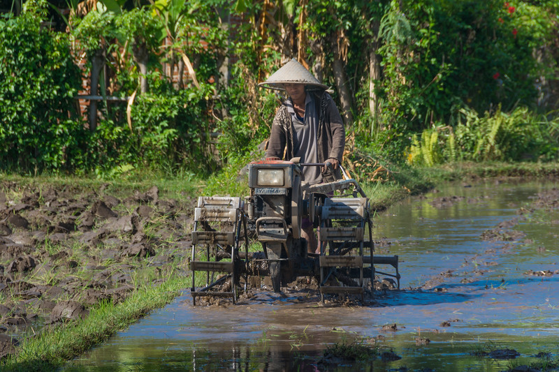 A rice farmer in Lombok, Indonesia ploughs his paddy, July 2017. [Lombok 2016-07 009 Indonesia]
