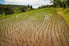 Newly planted rice paddies in the foothills of Mt. Batukaru, Bali, Indonesia. January 2010. [Bali Batukaru 2010-01 063 Indonesia]
