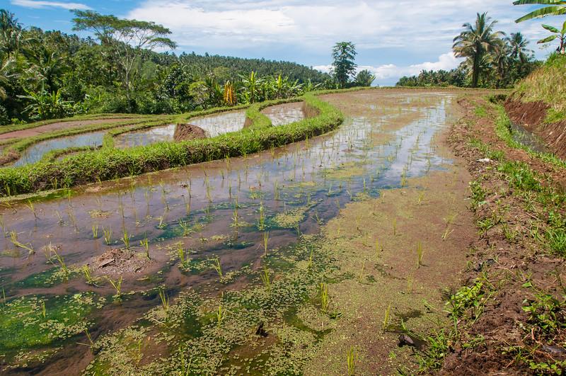 Rice paddies in the foothills of Mt. Batukaru, Bali, Indonesia. January 2010. [Bali Batukaru 2010-01 044 Indonesia]