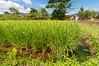 Rice paddy at Wuasa, Sulawesi, Indonesia, February 2013. [Sulawesi Wuasa 2013-02 063 Indonesia_V]