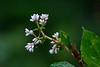 Doi Inthanon Wildflower