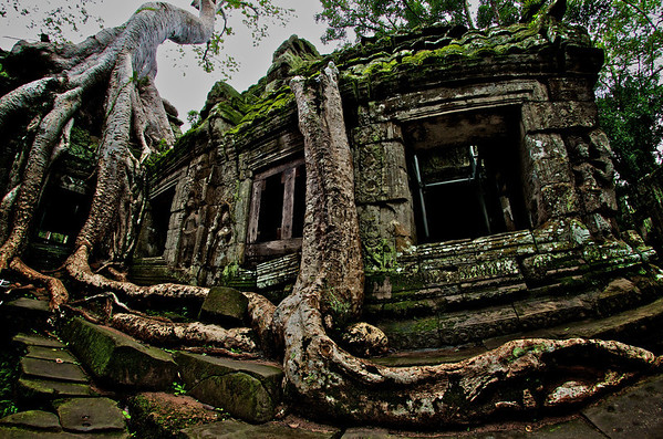 """The famous """"crocodile tree"""" at the Tomb Raider temple in Ta Prohm, Angkor Wat."""