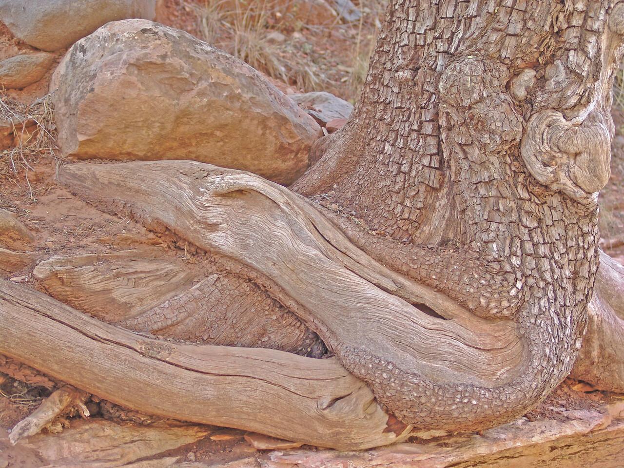 TRUNK FORMATION AT SLIDE ROCK STATE PARK, ARIZONA