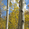 9.19.09 - aspens near Turquoise Lake, Leadville