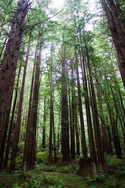 Californa Coastal Redwoods
