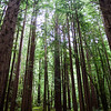 Californa Coastal Redwoods
