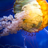 Jelly at Aquarium of the Bay