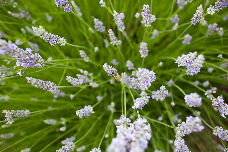 Roederer Estate Lavender & Bee