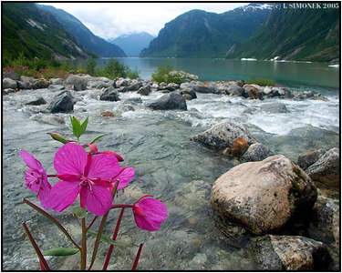 """ ""DWARF FIREWEED"", Shakes Lake, Alaska, USA-----""EPILOBIUM LATIFOLIUM"", jezero Shakes, Aljaska, USA."
