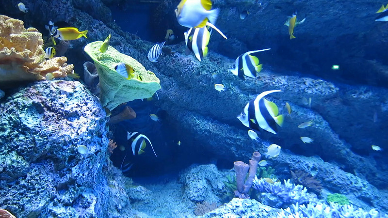 Mostly striped fish, 31 second VIDEO.