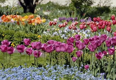 SLC Temple Garden Tulips