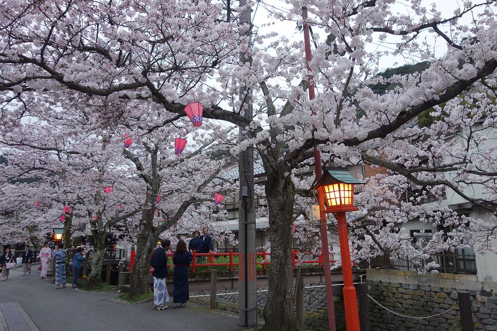 Cherry blossom in Kinosaki Onsen hot spring town.