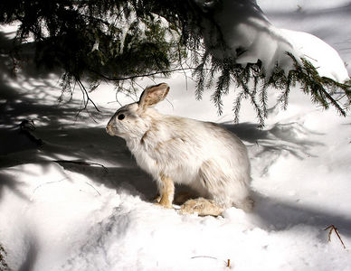 Snowshoe Mountain Resort (WV) -- A snowshoe hare