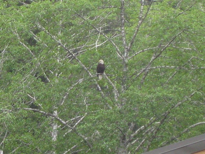 This was the interloper.  The roofline in the bottom of the shot is the top of the aviary where the other two eagles were recuperating.