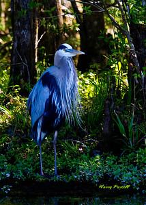 the prettiest Blue Heron at Wakula Springs
