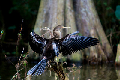 drying feathers after diving for fish