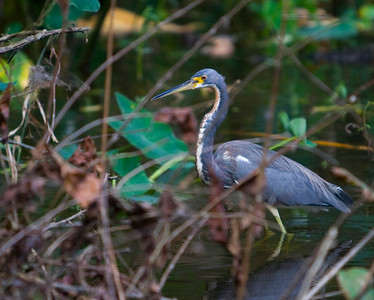 Louisiania Heron