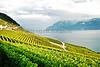 VINEYARD-EPESSES, SWITZERLAND