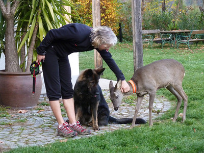 Yes, this is a wild female deer that Eva raised with a bottle which still comes around to visit - dog and all!!