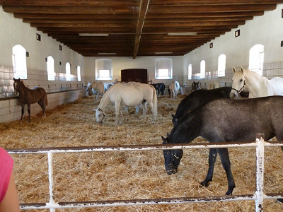 Here are the Lipizzaner mares with their foals which are born black amd only gradually turn white.