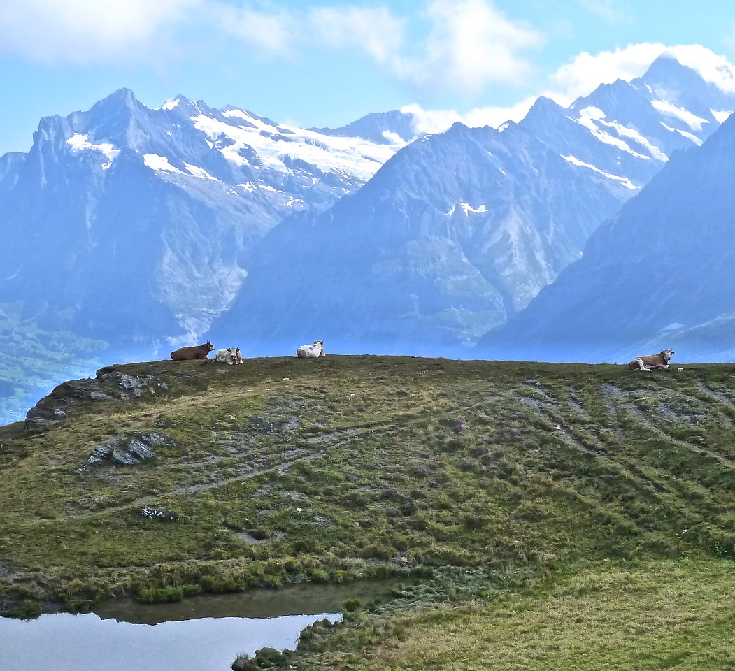 It's tough being a Swiss cow with those blinding views!!