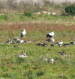 Storcks in a Nature Reserve outside of Nijmegen.