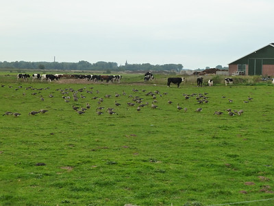 Thousands of Canadian geese who winter  just outside of Nijmegen.