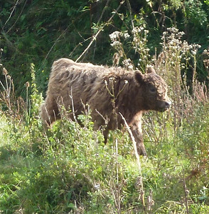 And yes, Holland has wild cows!!