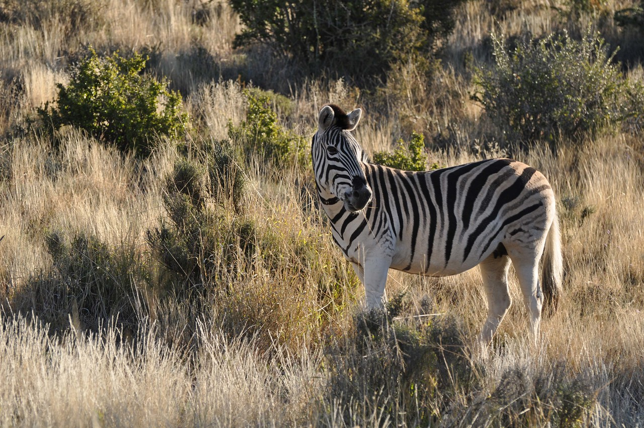 "Cape mountain zebra in Karoo National Park<br /> <br /> We saw a dazzle of the endangered Cape mountain zebra, kudu (magnificent antelope, with spectacular spiral horns, that are the emblem for South Africa's national parks), springbok (very pretty and delicate antelope, and South Africa's national emblem) and, perhaps not surprisingly given the name of the pass, a klipspringer (""rockjumper"" in Afrikaans)."