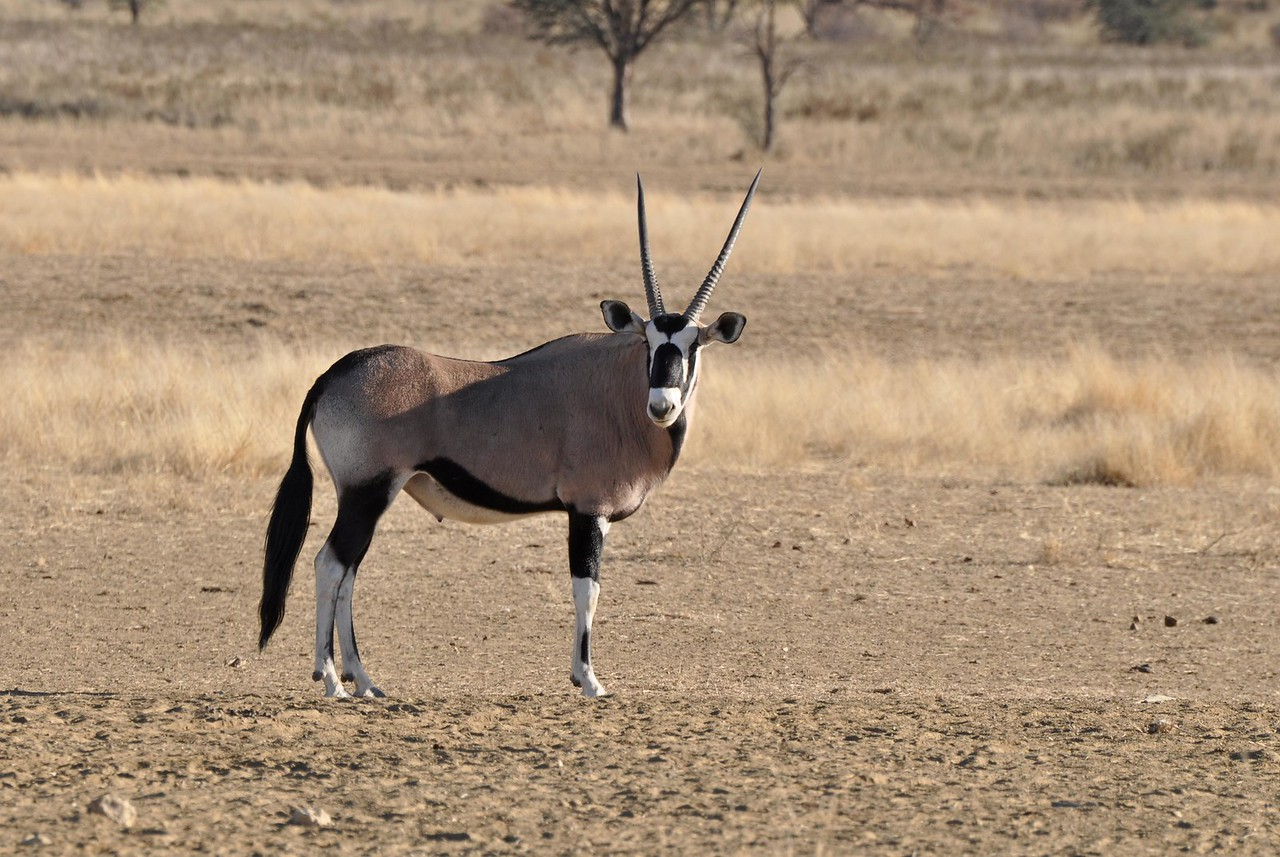 A gemsbok<br /> <br /> The South African side of the park comprises roughly 10,000km2, with a further 28,000 km2 on the Botswana side, making it almost twice the size of the better known Kruger Park, and one of the largest protected wilderness areas in the world. It is famous for its gemsbok (large, beautiful antelope, with striking black and white faces and long, straight horns) and its large, black-maned lions. The park also boasts leopard, cheetah, kudu, giraffe, wild cats, hyena, wildebeest, jackal, giraffe, and some striking snakes (no pun intended!). A number of desert species, such as the Cape Fox, rarely seen elsewhere, also make the park home. For birders, two-thirds of the raptor species found in Southern Africa can be seen in the park.