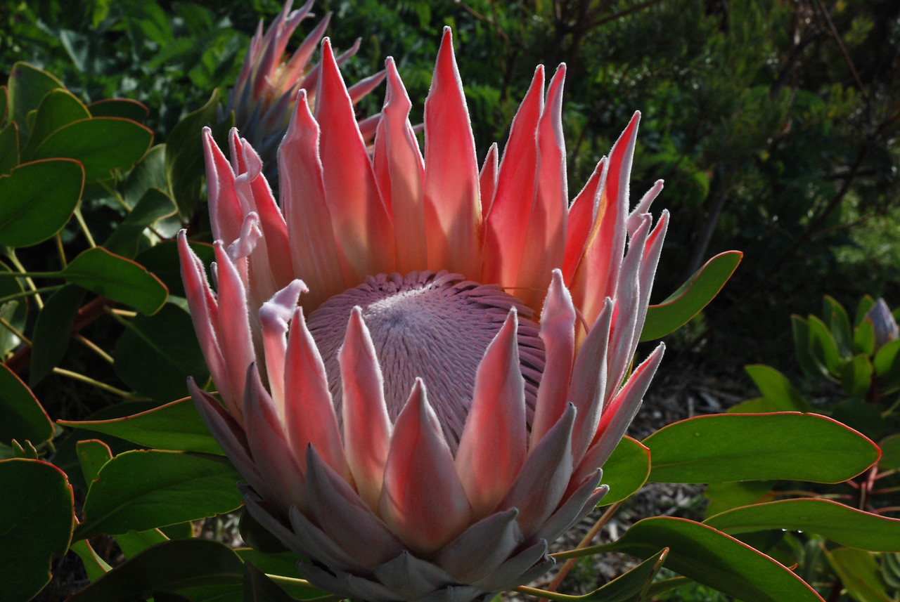 The King Protea - about the size of a dinner plate<br /> <br /> Spectacular even in winter, the gardens extend up the eastern slopes of Table Mountain, and offer wonderful views of the city, ocean, and Hottentotts-Holland Mountains to the east.