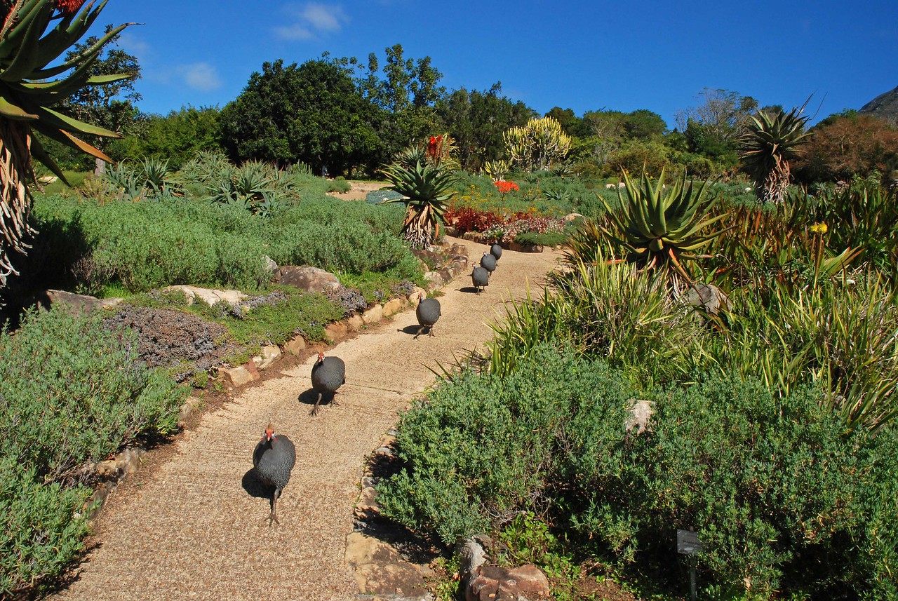 Guinea fowl in Kirstenbosch Gardens<br /> <br /> It was a lovely day, and even the guinea fowl were enjoying a stroll through the gardens.