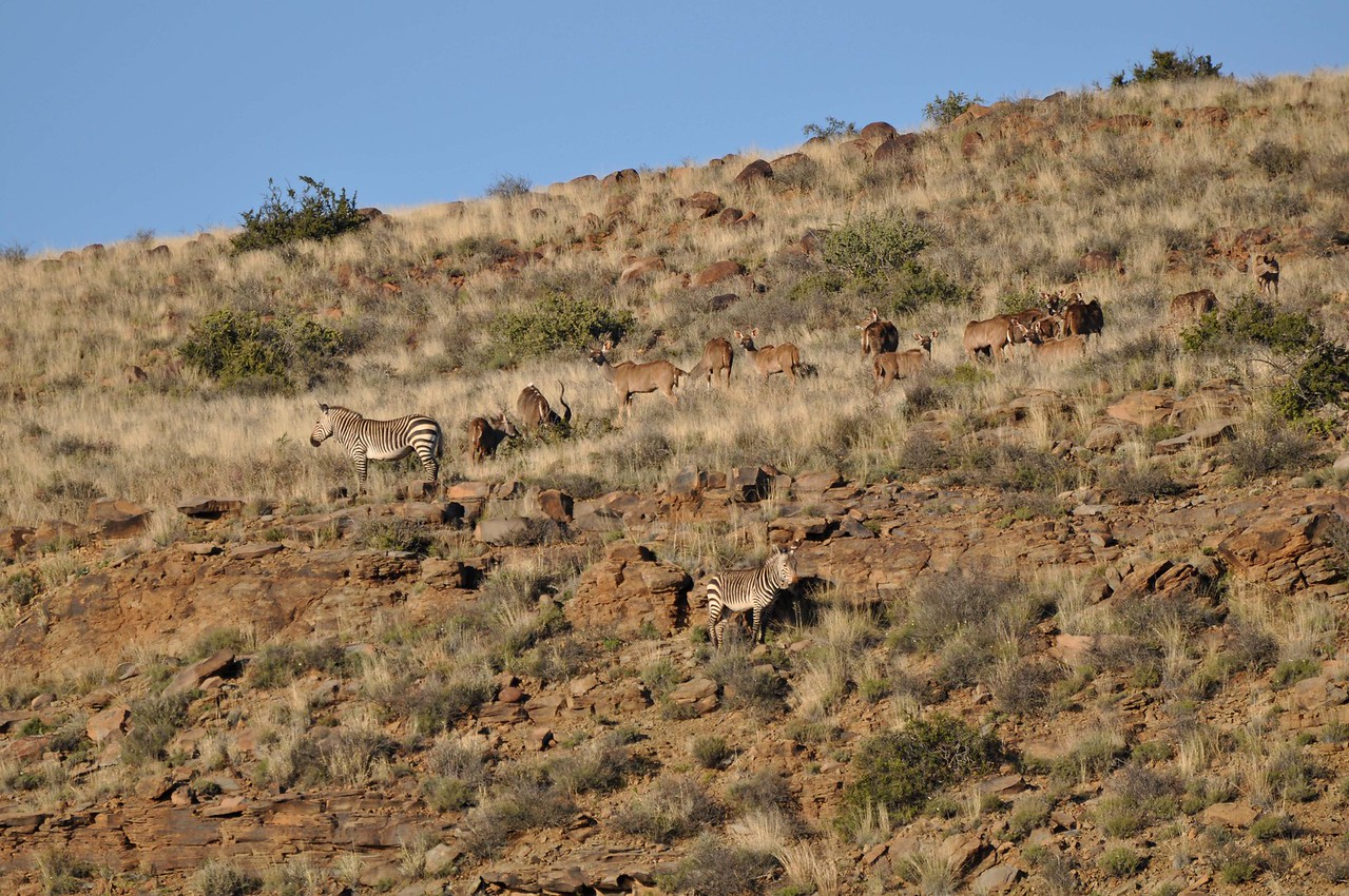 Kudu and zebra in Karoo National Park<br /> <br /> We saw red hartebeests, steenbok, kudu, ostriches, more Cape Mountain zebras, our first mouse birds of the trip, and a bokmakierie (a black and yellow bird, with a lovely ringing, bell-like call).