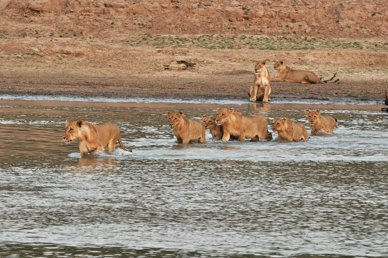 Lions in the Luangwa River in South Luangwa National Park, Zambia<br /> <br /> We watched with delight as ten lions waded across the Luangwa River directly past us, using our vehicle as a shield as they stalked two buffalo that were behind us. The lead lioness/hunter crossed the river without hesitation. However, the remaining lions seemed reluctant to get into the water, standing on the shore and staring forlornly across the expanse of water, delaying the inevitable for as long as possible.