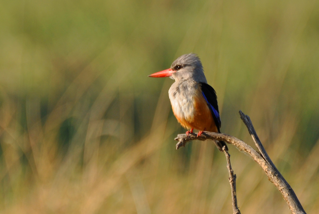 Grey-headed kingfisher<br /> <br /> Elly campsite at Mvuu Lodge, just outside of Lower Zambezi National Park in Zambia, had a resident grey-headed kingfisher that liked to perch on a branch on our site. Each time it flew off, we enjoyed a flash of royal blue and chestnut.