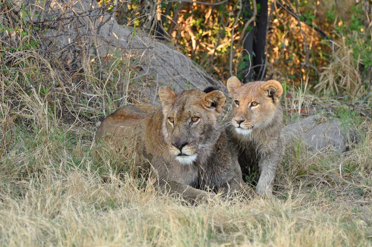 Lioness and cub near Third Bridge in the Moremi Game Reserve<br /> <br /> We came across a lioness and cub sitting next to a buffalo that the big cat had wounded. While it was disturbing to watch and hear the buffalo suffering, it was priceless to watch the interaction between the lioness and her young cub.