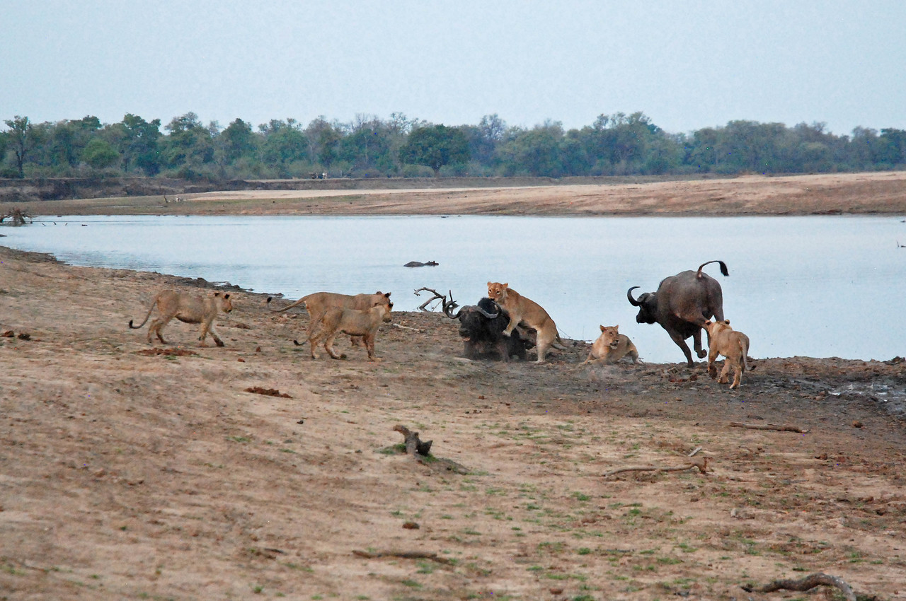 Ten lions kill two buffalo near Kaingo Camp in South Luangwa National Park<br /> <br /> We watched ten lions kill two buffalo, a confrontation that lasted several hours. It was fascinating to watch the respective strategies of the buffalo and lions. The buffalo backed themselves into the river, presumably so that they didn't have to worry about lions attacking from the rear. They worked as a team, each attacking any lion that pounced on the other. Surprisingly, the early advantage certainly seemed to go to the buffalo. They held the ten lions at bay quite successfully. The lions, frustrated with their efforts, seemed quite content to wait it out until dark, when they would have the advantage. They settled on the riverbank, waiting for the buffalo to make a move. The buffalo kept trying to escape to nearby bushes, but the lions would always force them back into the water. Occasionally, the lead hunter of the pride would become tired of the waiting game and attack one of the buffalo from the rear, but the buffalo were always able to fight off the lion. Eventually, during one skirmish, one of the buffalo became stuck in mud, and the lions took full advantage, descending on the poor beast. The second buffalo made a run for it, but the lions would have none of it. They abandoned the buffalo that was stuck in the mud and chased after the fleeing buffalo. Without the second buffalo to assist it, the fleeing buffalo didn't stand a chance. It was quickly surrounded by ten lions and taken down. While the one buffalo remained stuck in the mud, the lions killed the buffalo that had tried to flee, a process that went on for a very disturbing forty-five minutes. When we eventually had to leave for dinner, the lions were gorging on one buffalo, while the second remained very much alive but firmly stuck in the mud. We suspected that it would provide breakfast for the lions.