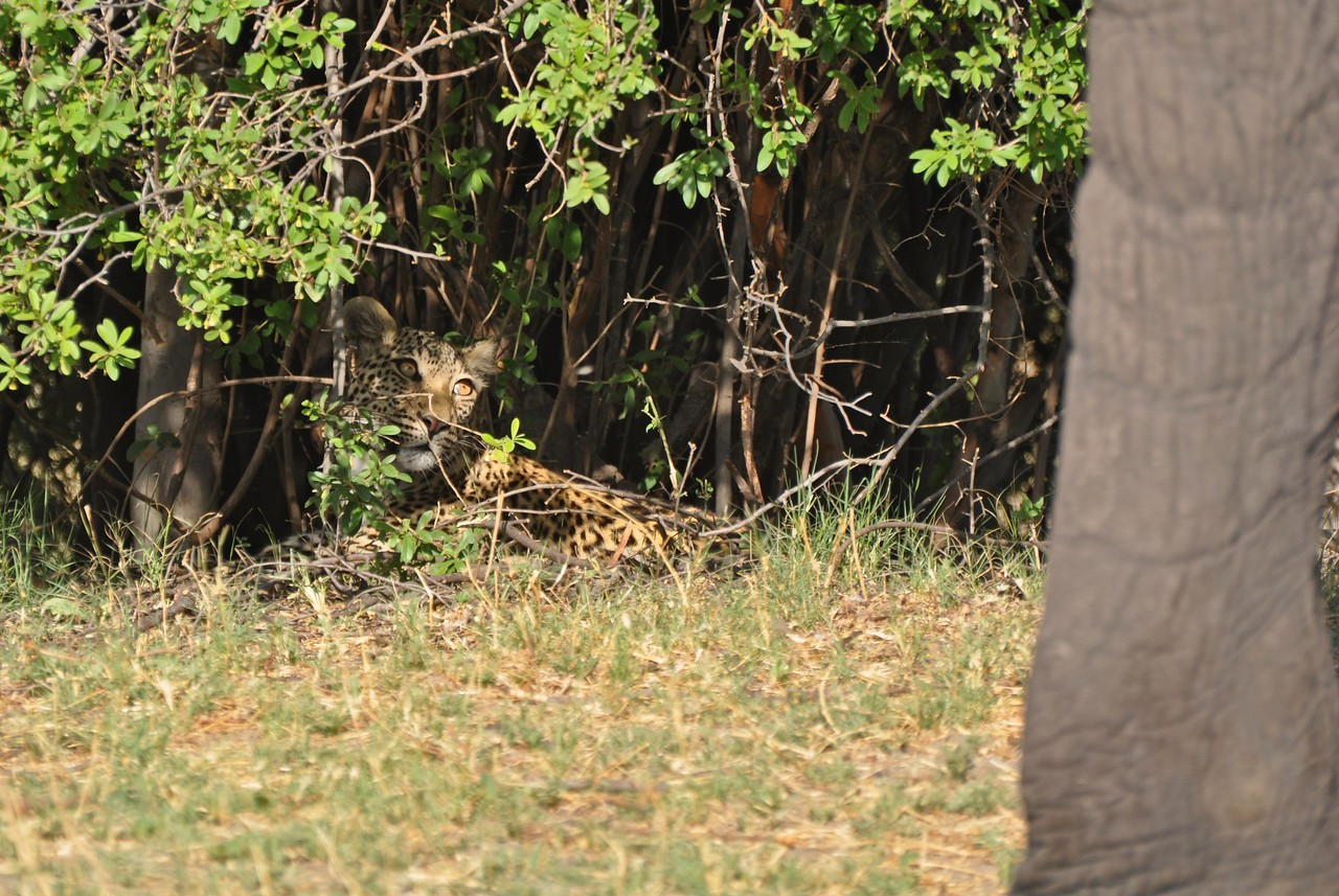The leopard watching the elephants that had surrounded the bush it was sleeping under<br /> <br /> Arguably, our best sighting of the trip was an encounter between a leopard and a herd of elephants. It took place near Savute in Chobe National Park. We encountered the leopard as it was sheltering under a bush from the midday sun. While we sat admiring the leopard, a herd of elephants, with several young, wandered out of the bush to drink at a nearby channel. We watched with delight as the elephants stood in the water, drinking and throwing water over themselves. At first, we thought that the elephants were unaware of the leopard, which was only about 20m from where the elephants were drinking. However, eventually the herd of elephants left the water and headed straight to the bush where the leopard was sheltering. The elephants surrounded the bush and closed in on the leopard. One went so far as to push its way partly into the bush. We watched in amazement as the leopard cowered under the bush, watching the elephants with eyes like saucers. Eventually, the elephants moved off and the leopard settled back down to sleep. Such a memorable encounter!