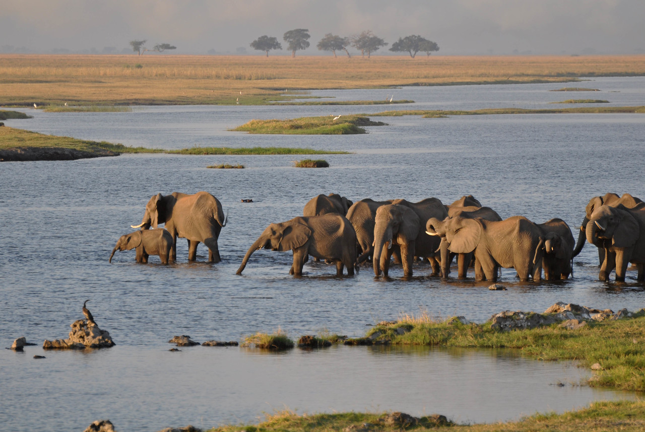 Elephants crossing the Chobe River<br /> <br /> From our campsite at Ihaha in Chobe National Park, we could sit with a glass of wine in the evening and watch large herds of elephants cross the Chobe River into Namibia, where, to the chagrin of the farmers, the elephants like to graze.