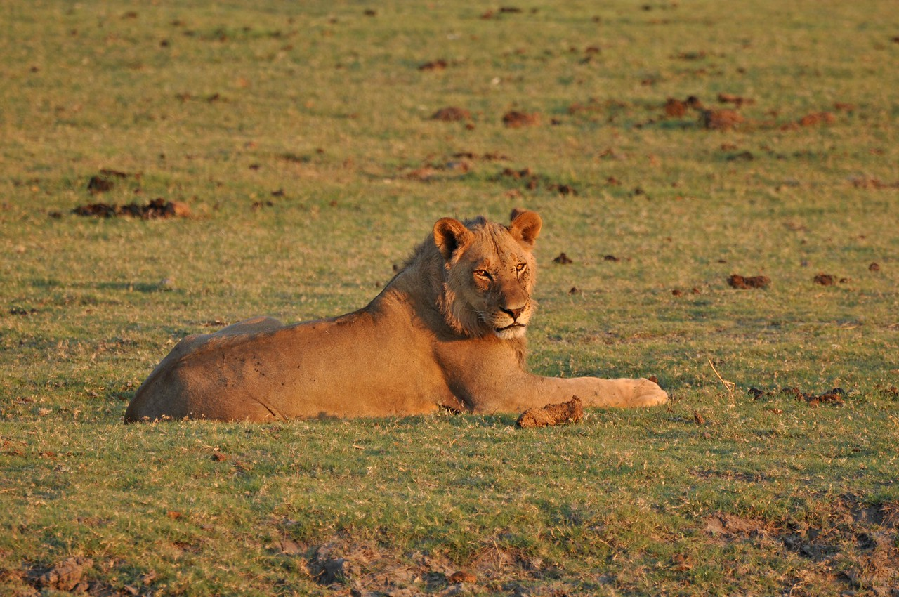 Young lion on the Chobe River floodplain<br /> <br /> One morning, in Chobe National Park, we went in search of the lion that had been roaring nearby for much of the night. We found this sleepy, young male in the Chobe riverbed, enjoying the warmth of the sunshine.