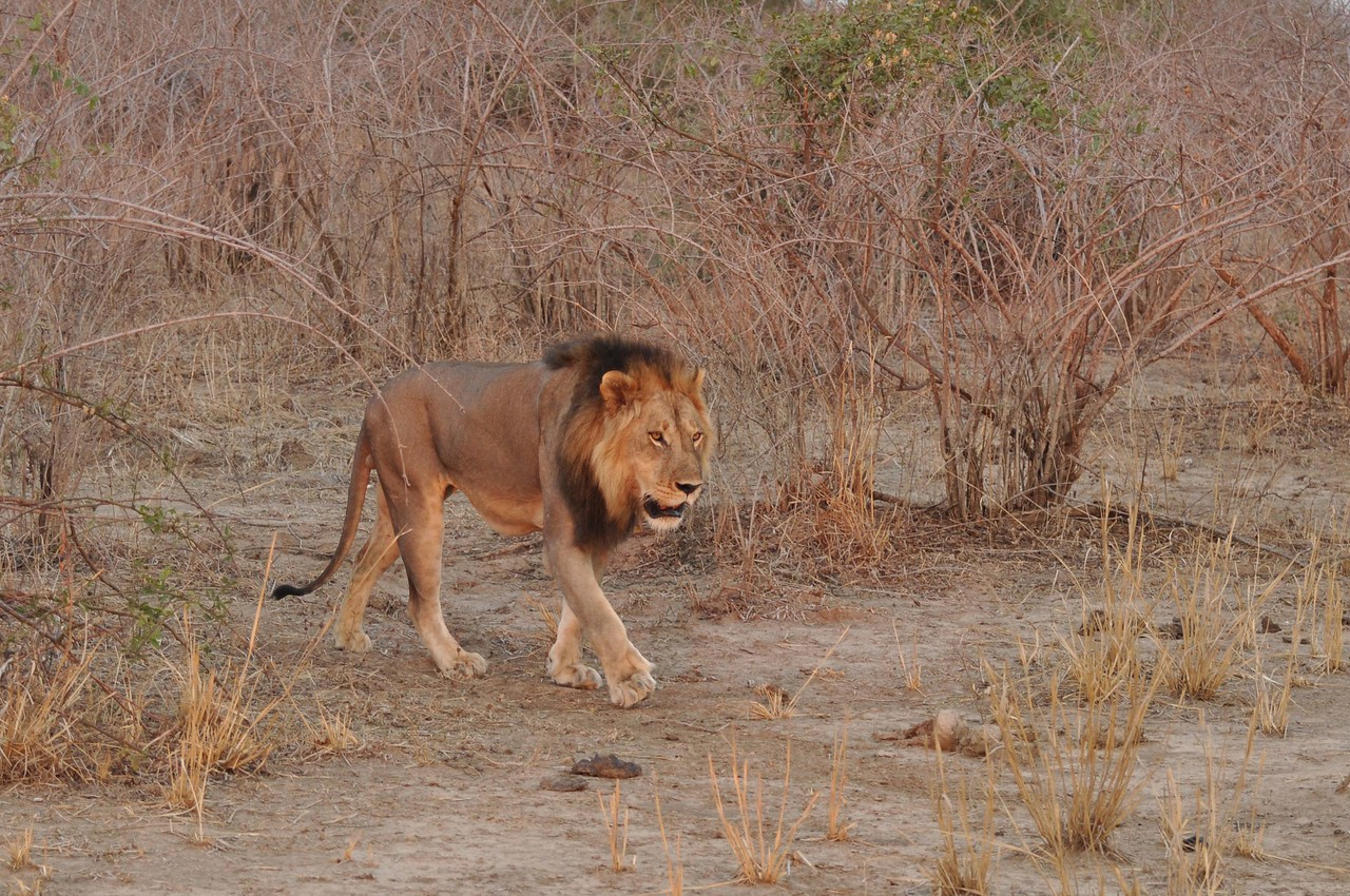 "Dominant male of the ""Hollywood"" pride in South Luangwa National Park<br /> <br /> Kaingo Camp in South Luangwa National Park is known for its lion sightings with good reason. In fact, one pride in the area has been filmed and photographed so many times that it is known as the ""Hollywood Pride."" On one evening game drive, we came across the dominant male of the pride, a magnificent lion. We sat and enjoyed its company as the sun set behind it."