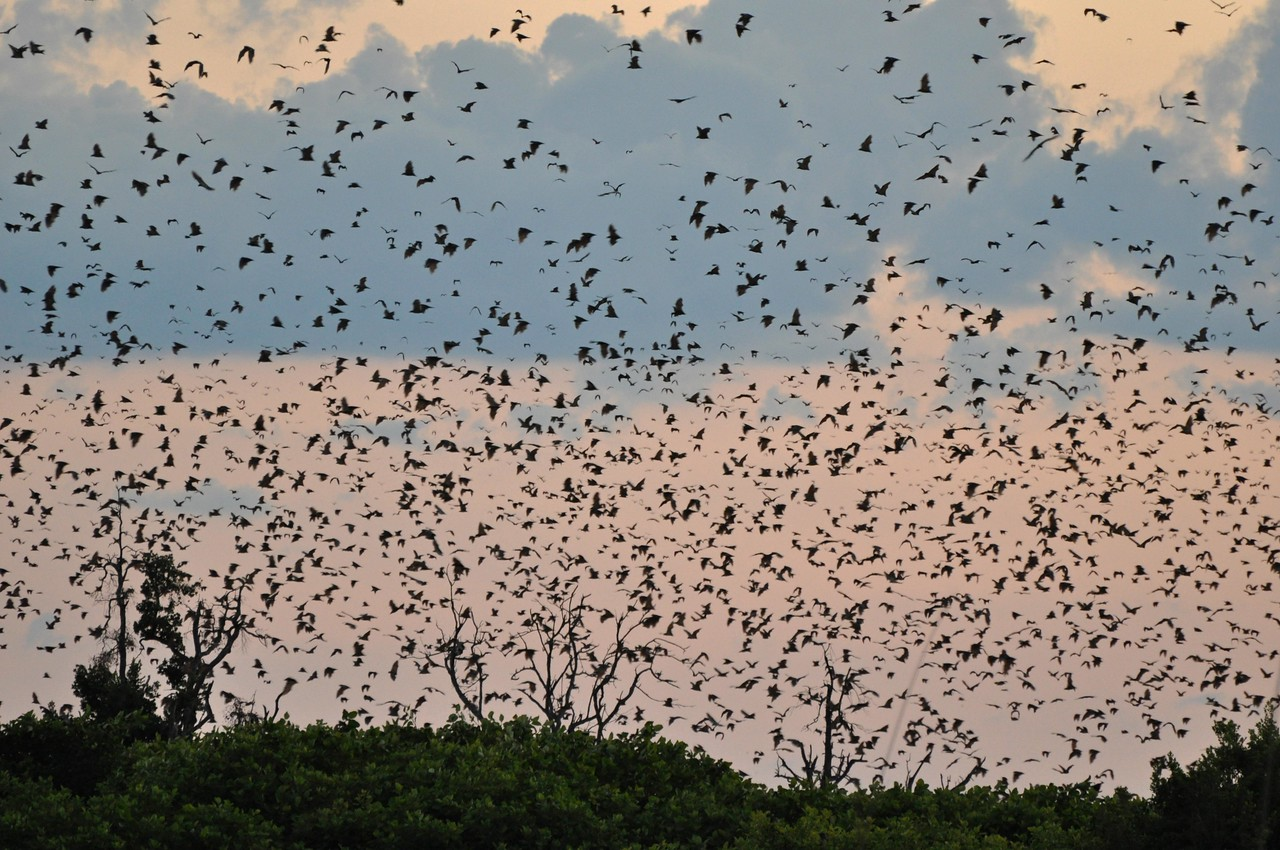 Bats in Kasanka National Park at dusk<br /> <br /> In Kasanka National Park in Zambia at sunset - the sight of ~ 8 million straw-coloured fruit bats flying overhead as they left their day roosts to feed. The bats filled the sky for as far as we could see in every direction for over twenty minutes. We took lawn chairs and a bottle of wine and sat amongst the phragmites and papyrus and wondered at the spectacle. We have seen the wildebeest migration in the Mara/Serengeti, and the bat migration was equally spectacular. Well worth a visit to Kasanka!